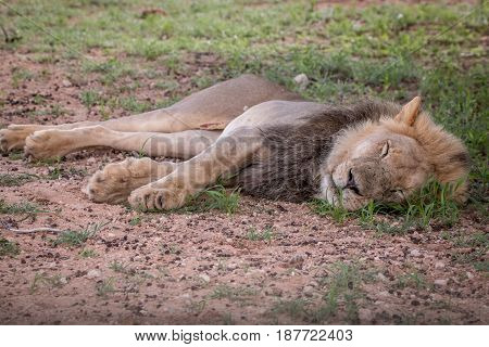 Big Male Lion Sleeping In The Grass.