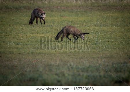 Two Bat-eared Foxes In The Grass.