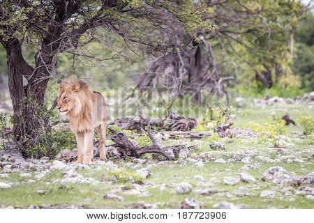 Young Male Lion Standing Under A Tree.