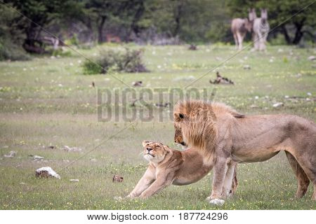 Mating Couple Of Lions Standing In The Grass.
