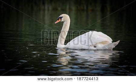 Beautiful Mute Swan (Cygnus olor) swimming in river.