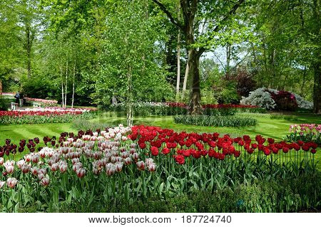 KEUKENHOF HOLLAND - MAY 14 2017: Flowering of tulips in the Royal Keukenhof Park