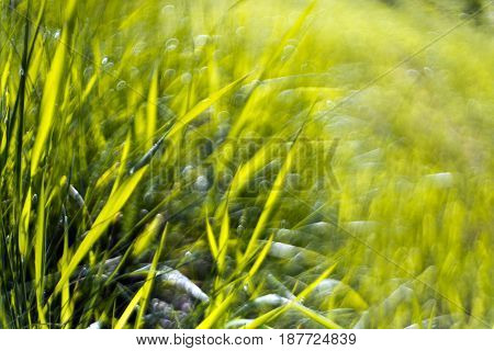 Green grass abstract background in the morning sun