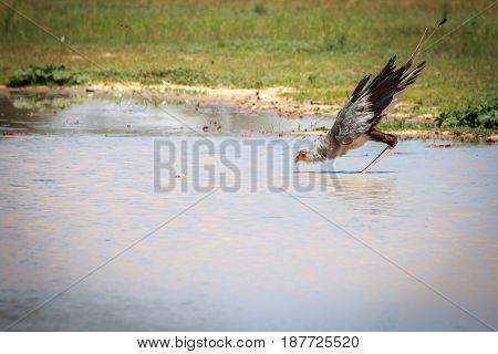 Secretary Bird Drinking From A Water Pool.
