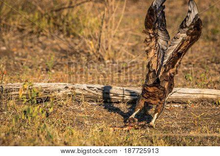 Juvenile Bateleur Flying Away.