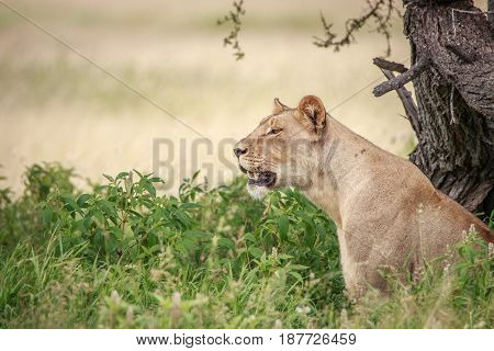 Side Profile Of A Lion In The High Grass.