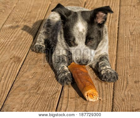 Texas Heeler puppy chewing on rawhide stick in morning sun