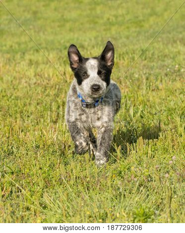 Happy Texas Heeler puppy running towards viewer in green grass