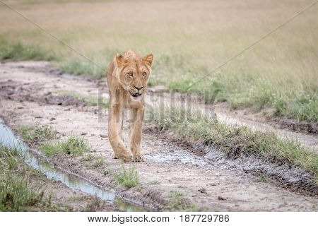 Lion Walking In The Sand In The Kalahari.