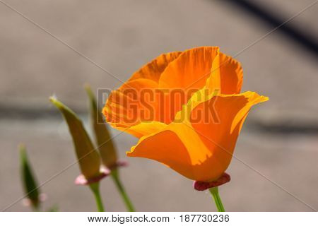 Springtime. Macro shot of an orange California poppy.