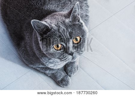 Gray British cat lying on the sofa