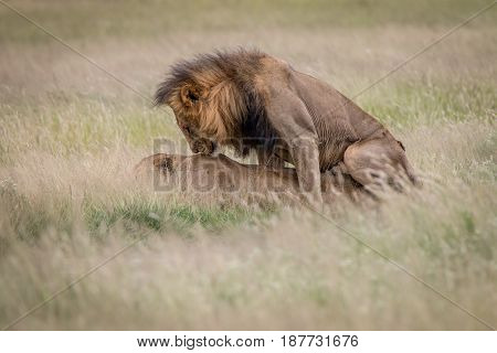 Lion Couple Mating In The High Grass.