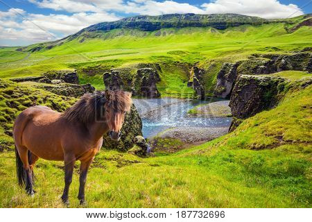 The striking canyon in Iceland. The Icelandic Tundra in July. Thoroughbred horse grazes on a cliff. Bizarre shape of cliffs surround the stream with glacial water