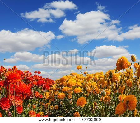 The kibbutz in the south of Israel. Fluffy clouds over a field of blooming buttercups - ranunculus.  Concept of rural tourism and agrotourism