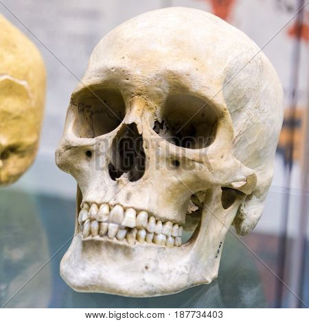 Old human skull in museum
