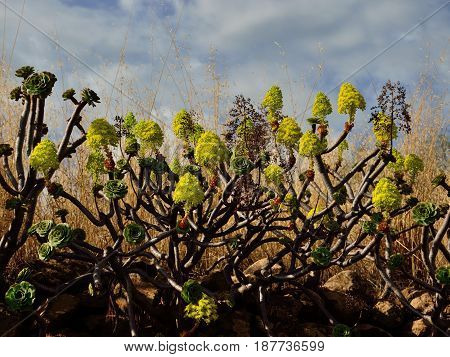 Aeonium in full bloom, wild plants of Canary islands