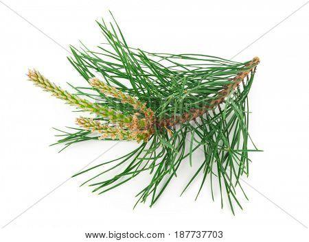 A flowering pine branch