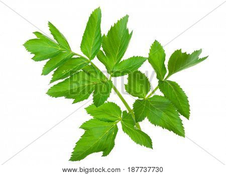 Angelica herb leaf sprig