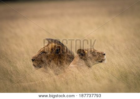 Lion Mating Couple Laying In The High Grass.