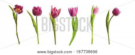 Different kinds of tulips on white background