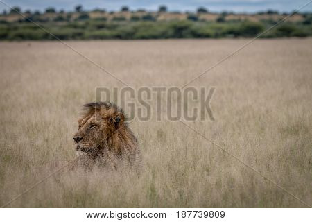 Head Of Big Male Lion Sticking Out Of The Grass.
