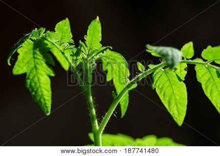 young tomatoes