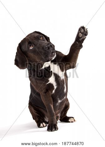 Black dog posed on studio taking his paw. Isolated on white background.