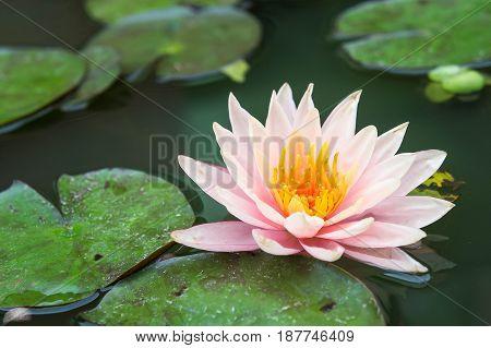 beautiful lotus flowers or waterlily in pond