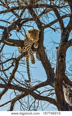 Happy and well fed leopard resting on a tree. African spotted leopard after feeding. The concept of exotic and extreme tourism. Travel to Namibia