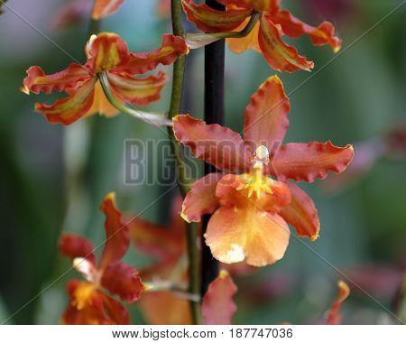 Close-up of small cambria orchids in the garden