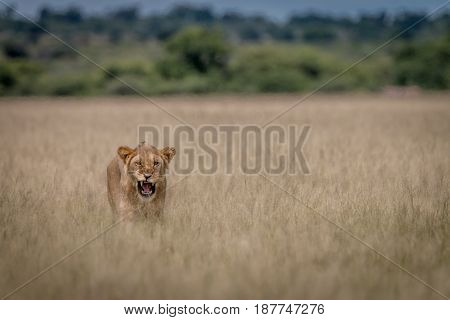 Lion Yawning In The High Grass.