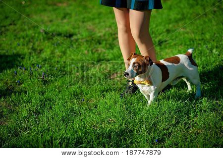 Female legs and a dog Jack Russell Terrier in park