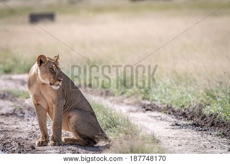 Lion Sitting In The Sand In The Kalahari.