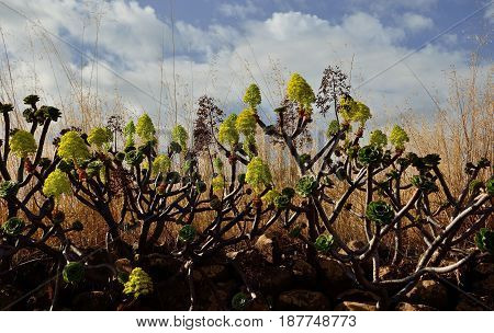 Group of aeonium in bloom, wild plants born on the stone wall, Canary islands