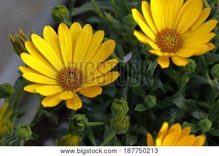 A yellow gazania flower opens the petals