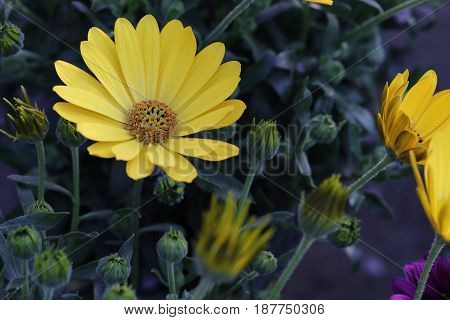 A gazania flower opens the Yellow petals