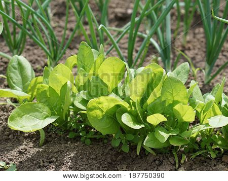 spinach and green leaves of  onion . Organic food.