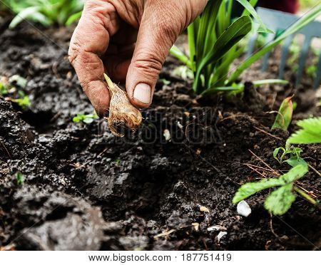Women's Hand Sadi In Soil-soil Flower Bulbs. Close-up, Concept Of Gardening, Gardening