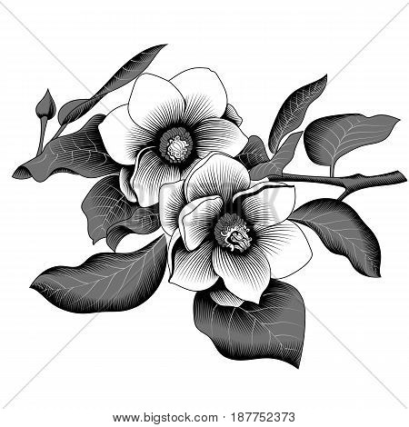 Magnolia tropical flower blossom in leaves on a white background. Vector.