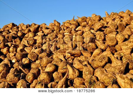 Pile of sugar beets on a farm
