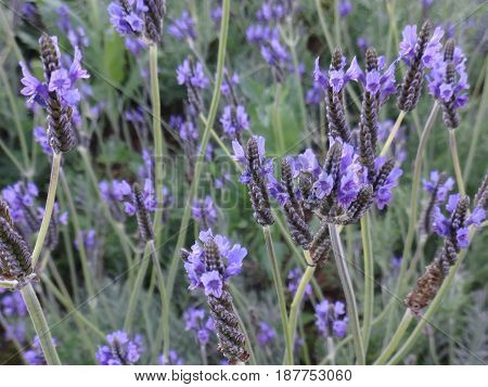 violet lavender at garden . flower photo.
