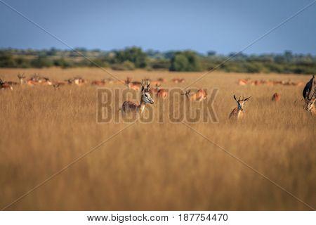 Herd Of Springboks Standing In The High Grass.