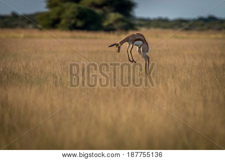 Springbok Pronking In The High Grass.