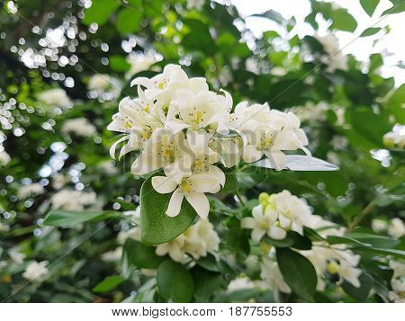 Fresh Orange Jessamine flower bouquet on the tree with bokeh background