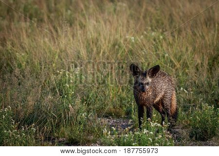 Bat-eared Fox Standing In The Grass.