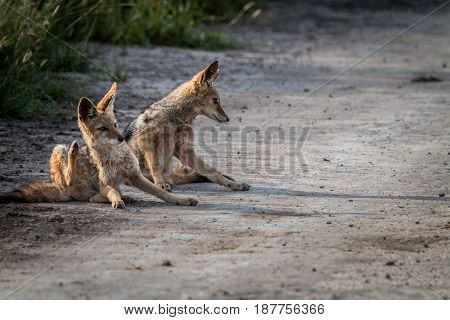 Two Black-backed Jackals Sitting In The Sand.