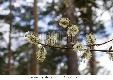Willow. Flowering willow. Flowering trees in the Park.