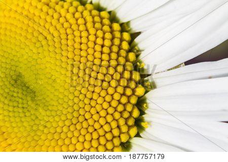 Daisy. Daisy petals. White Daisy petals. Flower