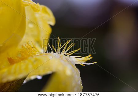 A yellow flower. Flower petal closeup. Drops