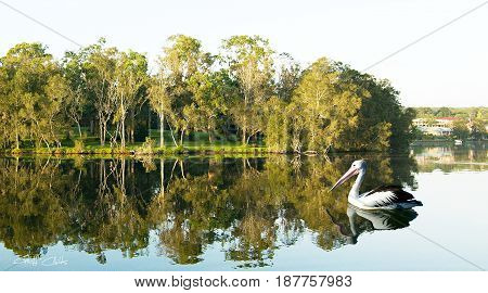 Tranquil lake scene with green trees on the foreshore parkland and very clear water reflections with an Australian pelican swimming in the foreground. Photographed from on the water at Styles Point Lake Macquarie. New South Wales Australia.